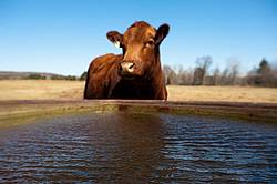Cow at water trough. Shallow depth of field with focus on water. Cow is out of focus