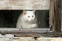 White barn cat in barn window