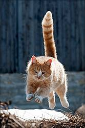 Orange cat jumping