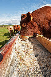Red Angus bull eating oats