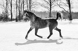 Hanoverian mare galloping through deep snow