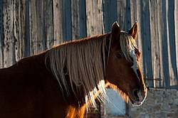 Chestnut horse standing in front of barn