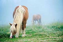 Belgian horses grazing on summer pasture