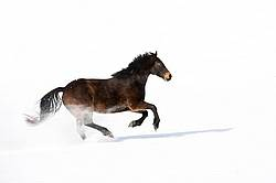 Dark bay horse galloping through deep snow