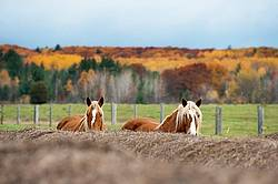 Two horses peaking over top of round bales of hay