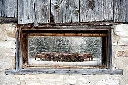 Scene of cattle in window