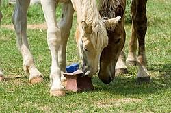 Belgian foals licking salt block.