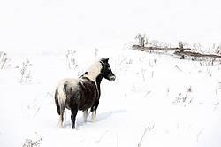 Pony standing in deep snow