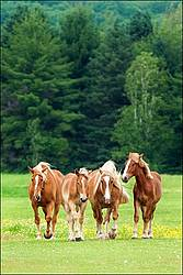 Four Belgian Draft Horses In Field