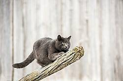 Gray barn cat on wooden rail