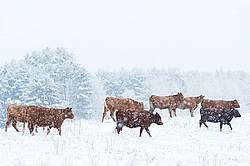 Beef Cattle Walking Through Snowy Field