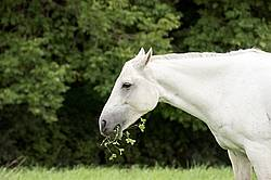 Portrait of gray horse eating clover