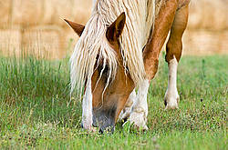 Belgian draft horse grazing on summer pasture.