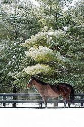 Bay Thoroughbred horse standing outside in the winter under a tree