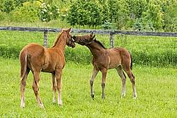 Two thoroughbred foals playing