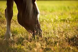 Chestnut horse grazing in the late evening golden light