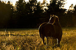 Belgian draft horse in pasture at sunset