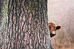 Beef cows peeking out from behind huge old spruce tree