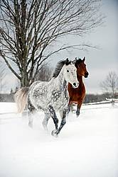 Photo of two horses running through deep snow