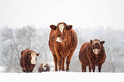 Beef cows standing outside in the snow