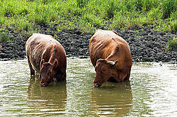 Beef cattle standing in pond drinking water