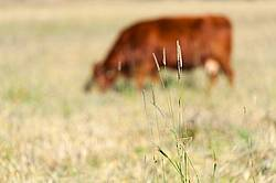 Beef Cow Grazing