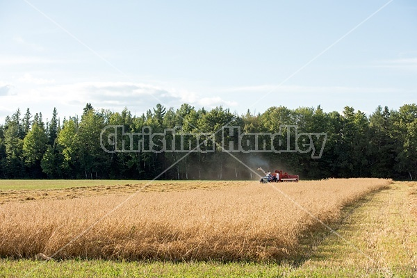 Farmer combining oats with a tractor and pull behind combine