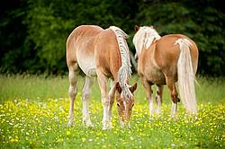 Two Belgian horses grazing on summer pasture