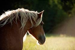 Belgian draft horse standing in beautiful evening light
