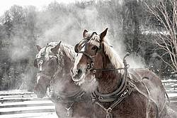 Two Belgian draft horses in harness
