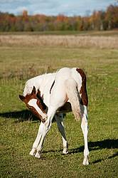 Young paint foal scratching his back leg.