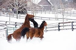 Three horses in deep snow