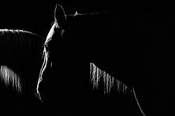 Photo of a Belgian draft horse being lit by barn window