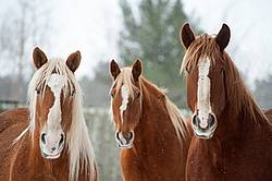 Three Belgian draft horses looking at camera
