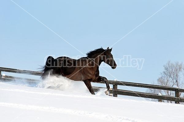 Dark bay Hanoverian horse galloping through deep snow