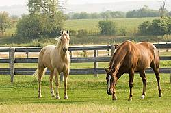 Two Quarter horses in paddock