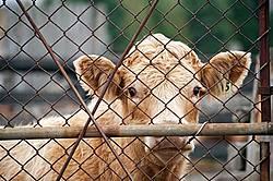 Charolais Steer