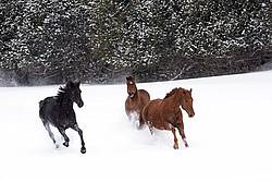 Three horses galloping through snow