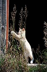 Orange cat playing with tall grass