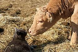 Baby Beef Calf and Barn Cat