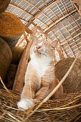 Orange barn cat palying with straw