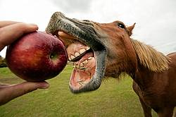 Horse eating apple