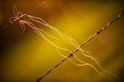 Horse hair on barbed wire