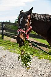 Thoroughbred gelding eating a dandelion plant