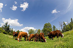 Herd of beef cows