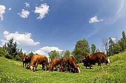 Herd of beef cows