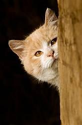 Orange and white barn cat peeking out of barn.