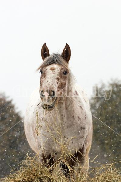 Appaloosa Horse