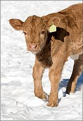 Young baby beef calf in the snow
