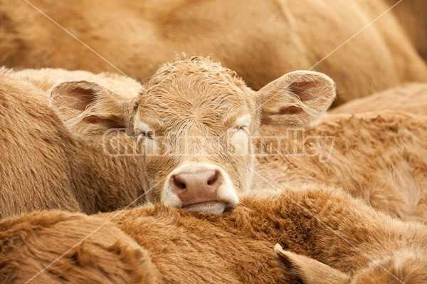 Young beef calves sleeping together